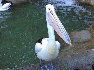 Pelicans à lunettes, des oiseaux très surprenants