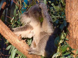 """Article du Monde.fr : Le koala est menacé de disparition par le réchauffement climatique, selon une étude de l'université de Sydney qui met en garde : son extinction pourrait se précipiter si rien n'était fait """"en urgence"""" pour planter à la fois des arbres au feuillage fourni qui le protègent de la canicule durant le jour et des eucalyptus, dont il se nourrit la nuit."""