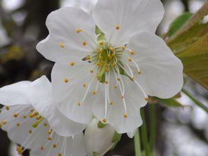 Traversée de Morainvilliers, cerisiers en fleurs ...