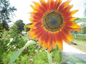 Aubergenville, création d'un parc débordant de fleurs pour son inauguration ce samedi !