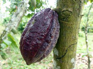 De la fleur à la fève de cacao