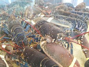 Langoustes roses de Méditerranée et rouges bretonnes, homards bretons.