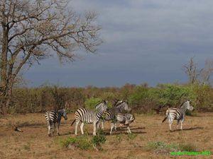 Zèbres au repos et zèbres qui se font chahuter par un éléphant qui défend son point d'eau!