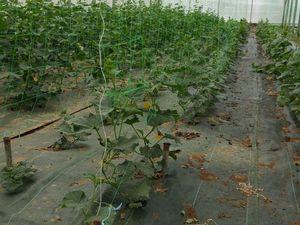 par ordre d'apparution : poivrons, tomates, concombres qui se développent à différents rythmes, courgettes