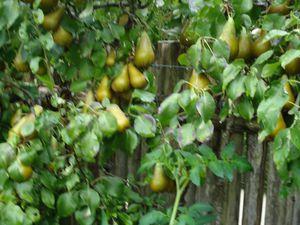 dans ce petit jardin : 2 pruniers , 3 pommiers ,2 poiriers , 1 figuiers , 2 vignes et nombres de petits fruit rouge variés