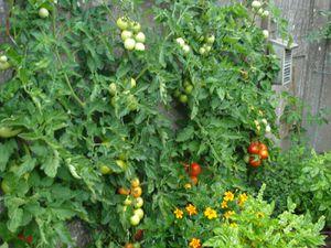 juillet 2016 et juillet 2014    ,,,, cette année nous avons un bon mois de retard  , nous avons mangé seulement notre 3 em tomates
