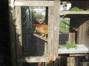 les poules font de l'exercice ! c'est  leur parcour sportif  !