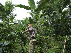First days in a coffee plantation... the longer the roast, the bitter and the less caffeine...