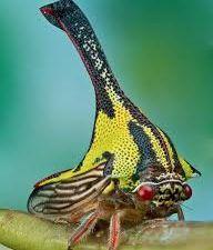 Umbonia Spinosa et crassicornis