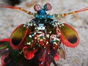 Stomatopoda, la crevette mante religieuse