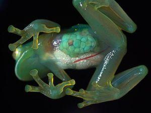 Centrolenidae, la grenouille de verre