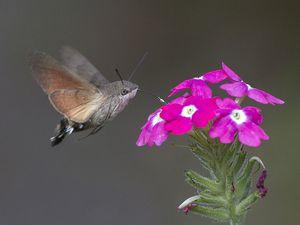 le Sphinx colibri