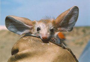 Animaux en voie de disparition : La Gerboise à longues oreilles, Euchoreutes Naso
