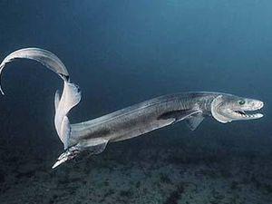 Le requin Lézard