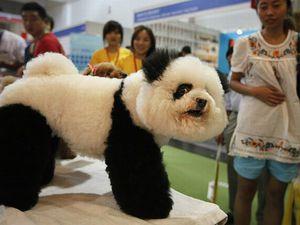 Lorsque les chiens Chinois deviennent des Pandas ou des tigres, Nouvelles tendances : le chien Panda!