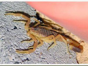 Le Scorpion rôdeur de la mort