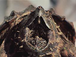 La Tortue Alligator, Alligator snapping turtle, Macrochelys Temminckii, Etats-Unis