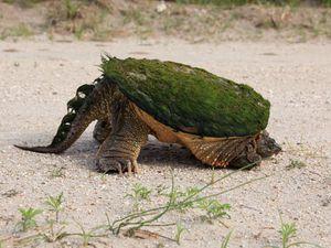 La Tortue Alligator, Alligator snapping turtle, Macrochelys Temminckii, Etats-Unis