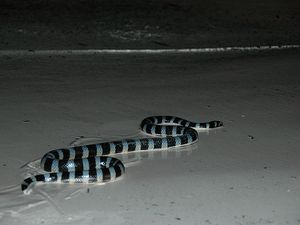 Le Tricot rayé, Un Serpent de Nouvelle-Calédonie, Laticauda