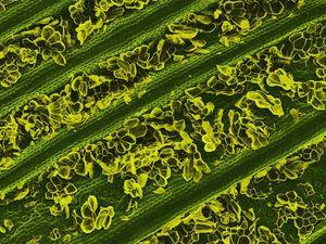 1. oeufs de papillon sur une feuille de framboisier, 2. feuille d'ananas, 3. chou bruxelle