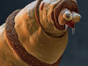 1. Tête d'une larve de mouche bleue, 2. copépode, 3. le tétard