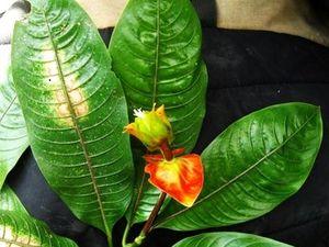 La Psychotria Elata, où La fleur en forme de Lèvres chaudes, Amérique Centrale