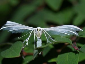 Le Pterophorus Pentadactyla, Ptérophore Blanc, Un papillon blanc