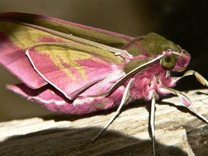 Le Deilephila Elpenor, Insecte, Grand Sphinx de la Vigne, Europe