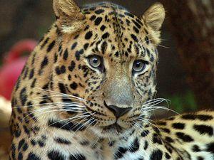 Le Léopard de l'Amour, panthera pardus orientalis Menacé de disparition