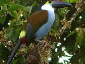Le Toucan Bleu, Andigena Hypoglauca, espèce menacée, Amérique du Sud et Centrale