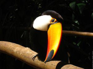 Le Toucan Toco, Ramphastos Toco, Amérique du Sud