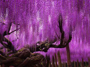 Ce Wisteria vieux de 144 ans,  un arbre fantastique, Japon