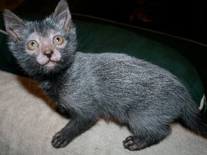 Le Lykoi, chat loup-garou, Johnny et Brithney Gobble