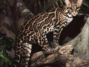 Le Chat Léopard du Bengale, Prionailurus Bengalensis, en voie d'extinction, préoccupation mineure