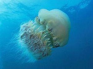 La Méduse de Nomura, méduse géante dite Echizen Kurage, Japon