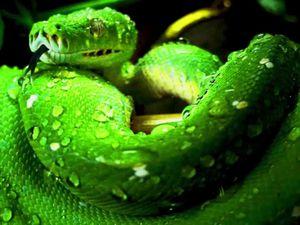 Le Python Vert, Morelia Viridis, Australie, Nlle Guinée