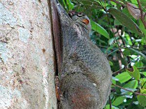 Galeopterus Variegatus, Lémurien volant Sunda, Malaisie