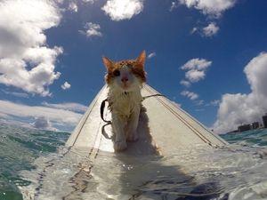 Kuli, le chat surfeur, incroyable petite boule de poils, Hawaï