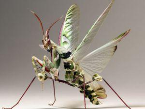 La mante religieuse fleur du diable, Idolomantis diabolica, Afrique