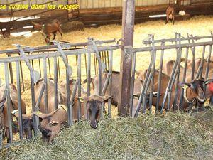 chèvres et chevrettes