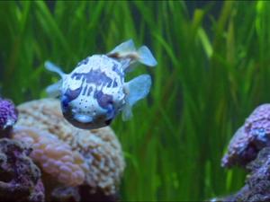 [A la recherche du bon aquarium] Blowfish  河豚