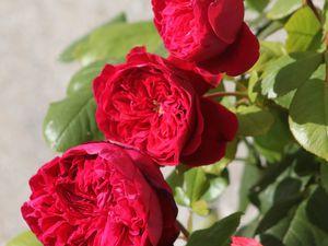 b9. Les rosiers en A. de Ab. à Al.