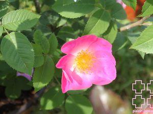 b9. Les rosiers en Cn à Cz.