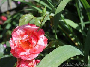 b9. Les rosiers en G. de Gr à Gz.