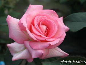 b9. Les rosiers en X. Y. et Z.
