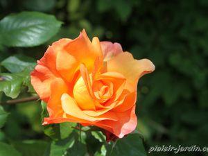 b9. Les rosiers en W.