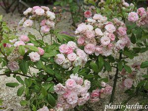 Le rosier 'Lili d'amour'