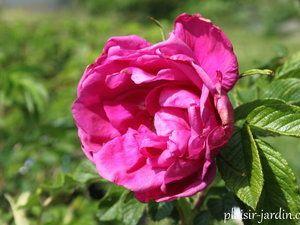 b9. Les rosiers en M. Mme Melle et Miss