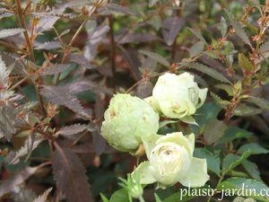 Le rosier Lovely green