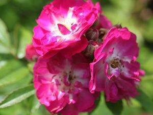 'Jardins d'Aywiers' et 'Joyeuse Farandole'